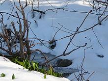 Bärlauch im Schnee