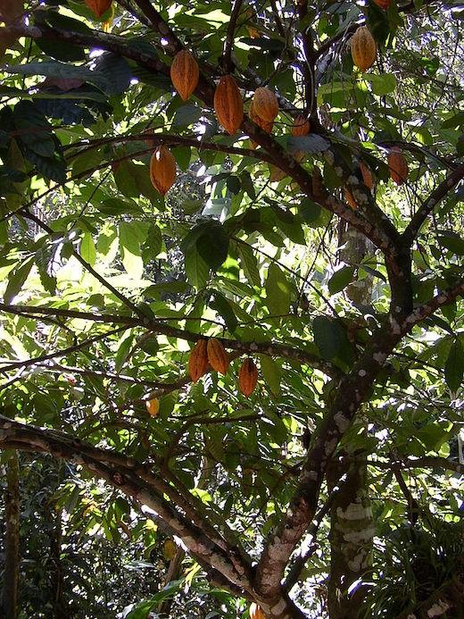 Kakaobaum an dessen Stamm und dickeren Ästen Kakaofrüchte wachsen.