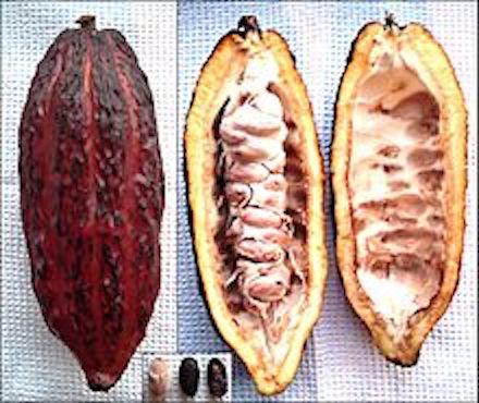 Kakaofrucht ganz und halbiert (mit bzw. ohne Kakaobohnen)