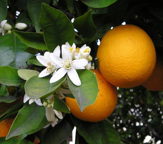 Früchte, Blüten und Blätter von Orangen